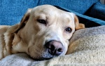 a close up picture of a yellow Canadian Labrador, looking really calm and relaxed